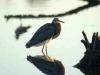 Guanabán, ave marina avistada en la Laguna de la Lisa