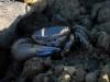 Cangrejo joven que habita en la Laguna de la Lisa
