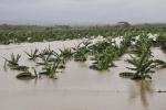 Lo que Irma nos dejó. Los cultivos, entre las principales afectaciones reportadas en la agricultura espirituana. (Foto: Vicente Brito/ Escambray)