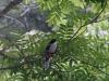 Colinas de natura. El tocororo saluda al visitante de las Lomas de Banao. (Fotos: cortesía de la reserva)