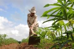 Sancti Spíritus está en 26. La CPA Diez de Octubre, en Cabaiguán, constituye un paradigma de la producción de alimentos en Cuba. (Foto: Vicente Brito/ Escambray)
