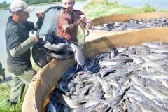 Sancti Spíritus está en 26. La acuicultura espirituana puntera en la captura de peces del país. (Foto: Vicente Brito/)
