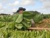 Entrega en usufructo de tierras ociosas en Cuba
