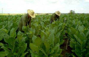 Vegueros espirituanos adelantan la siembra de tabaco