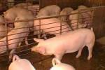 Yaguajay, tercer municipio en Cuba con mayor entrega de carne de cerdo