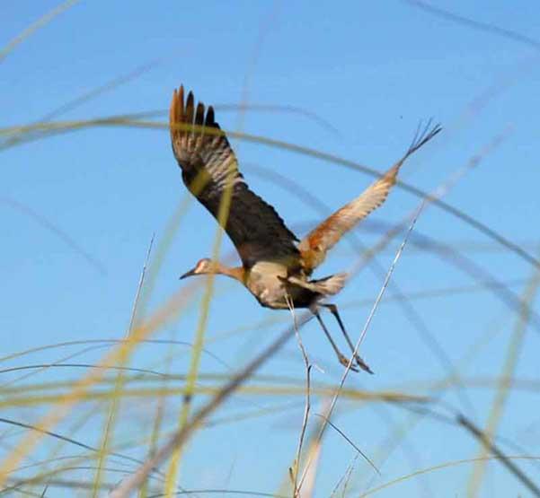 Es el ave más grande de Cuba y se conoce muy poco de ella. Junto con el Garcilote, gris y blanco, y el Flamenco, componen el grupo de aves de mayor tamaño de Cuba.