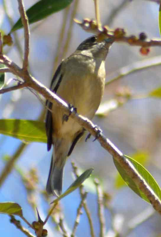 Señorita de manglar. (Seiurus noveboracensis), habita en ríos, estanques y bosques pantanosos y manglares.