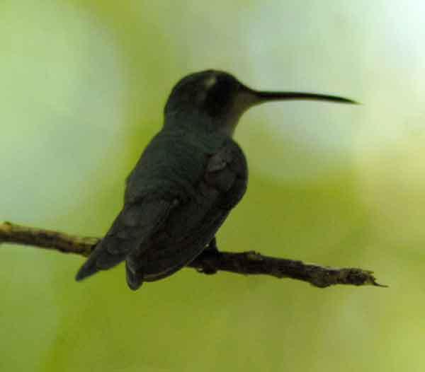 El zunzún, también conocido como picaflor o colibrí, es muy común en toda Cuba, generalmente usan muy poco las patas pues se encuentran casi todo el tiempo volando.