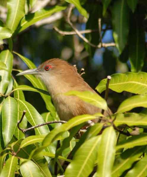 Arriero o Tacó (Coccyzus merlini). Ave vistosa y bastante grande, que los aborígenes también denominaban Guacaica