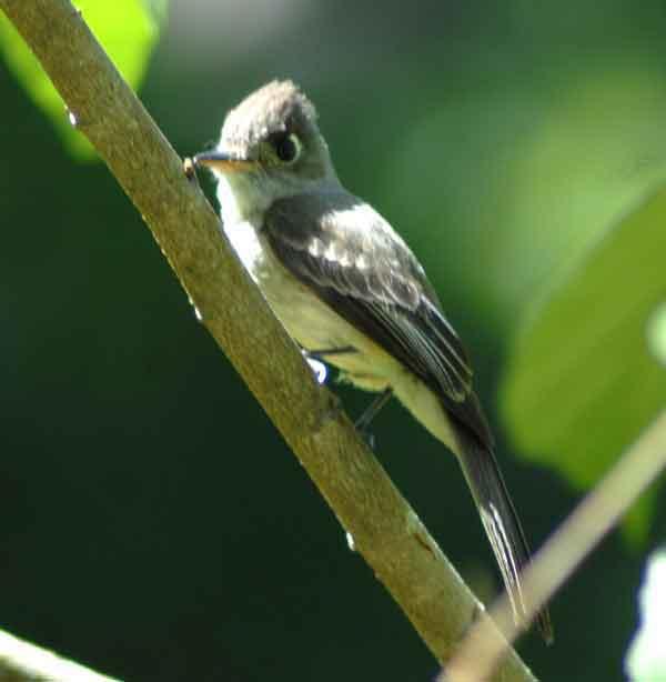El Bobito chico es un ave que mide aproximadamente 17 cm de longitud