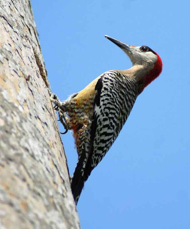 Carpintero Jabado es el ave más común de los de esas especies endémicas del archipiélago cubano.