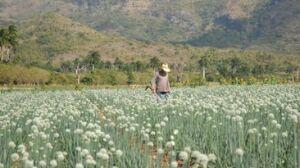 El cultivo de la cebolla demanda exigentes atenciones agrícolas.