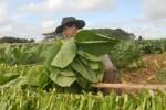 La cosecha está acompañada por favorables condiciones climáticas.