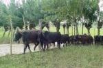 La entrada de alambre ha favorecido la creación de cuartones para el ganado.