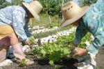 Las féminas espirituanas a la vanguardia de la producción de alimentos en la provincia. (foto: Vicente Brito)