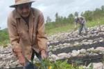 Los obreros de los organopónicos espirituanos laboran en el restablecimiento de las plantaciones. FOTO/Oscar Alfonso
