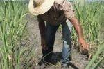 Estrategias bien concretas para incrementar la producción de azúcar -con precios significativos en el mercado internacional en la actualidad-, desarrolla el sector cañero de Sancti Spíritus, fundamentalmente en busca de aumentar los volúmenes de caña a moler y los rendimientos agrícolas del cultivo, principales insatisfacciones de ese sector aquí. Aunque los resultados de la pasada zafra se consideraron satisfactorios, con crecimientos del 20 por ciento en la gramínea e incrementos de la producción en más de un 10 por ciento, aún las áreas resultan insuficientes para la capacidad industrial instalada en los ingenios del territorio y el rendimiento del cultivo en los campos puede mejorar con creces. Especialistas en la materia apuntan la urgencia de crecer en las plantaciones, pues la actual producción apenas representa el 61 por ciento de la potencialidad que se está planificando perspectivamente. Aunque junto a la zafra se realizaron todas las labores de la agricultura cañera, con notable adelanto en la preparación de tierra y la siembra, estos empeños aún no resultan suficientes, pues Sancti Spíritus todavía se ubica entre las tres provincias de menor rendimiento cañero, incluso por debajo de la media nacional. Vale reconocer que el territorio constituye el único en Cuba con crecimientos en las 10 labores principales de la agricultura cañera, pero las industrias no saciadas piden con premura el incremento en los volúmenes de materia prima. Entre los asuntos que merecen repensarse se encuentra el riego de agua a las plantaciones ya que actualmente solo ocupa menos del uno por ciento de las áreas cañeras de la provincia, donde se localiza la mayor reserva de agua embalsada en Cuba. Los expertos insisten en que vale la pena invertir, puesto que la provincia ha consolidado su prestigio como fabricadora de azúcar: además de los tradicionales indicadores de rendimiento industrial, recobrado y rendimiento potencial de la caña, la pasada zafra se distinguió por la reducci