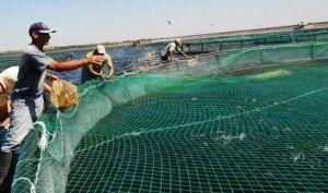 La cría intensiva de tilapia en jaula continúa en desarrollo en la provincia, a pesar de la sequía.
