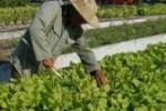 Sancti Spíritusse destaca por la estabilidad en las entregas de vegetales a los centros priorizados de educación y salud.