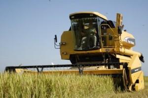 La Sierpe produce el 88 por ciento del cereal en la provincia.