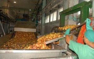Más de 543 toneladas de guayaba se han procesado en lo que va de año. (foto: Vicente Brito)
