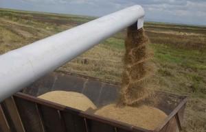 La cosecha arrocera espirituana marca la senda a transitar en la sustitución de importaciones.