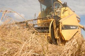 Los arroceros espirituanos consiguieron por segundo año consecutivo producciones superiores a las 100 000 toneladas del cereal.