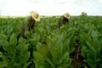 Sancti Spíritus es la segunda productora de tabaco en Cuba