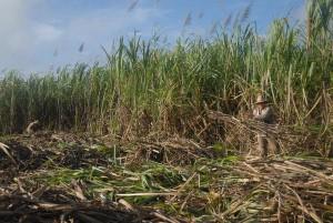 La producción de azúcar crecerá en la próxima zafra espirituana.