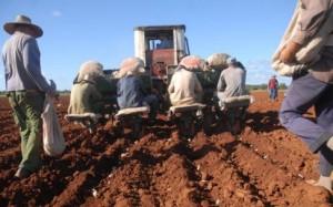La siembra se desarrolla en su totalidad de forma mecanizada.