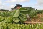 Los vegueros espirituanos tienen el propósito de lograr unos dos mil 600 quintales netos de tabaco en la actual contienda.