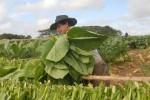 Los vegueros espirituanos tienen el propósito de lograr en la actual campaña 2 600 toneladas netas de tabaco.