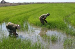 Los arroceros espirituanos aspiran a completar entre mayo y agosto (temporada de primavera) la siembra de las 33 mil hectáreas pactadas para el corriente año.