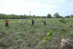 Alrededor de 20 hombres de la Empresa Forestal Integral de Trinidad laboran permanentemente en la plantación de especies endémicas.