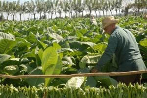 A partir de la próxima campaña tabacalera, los cosecheros podrán utilizar la nueva variedad.