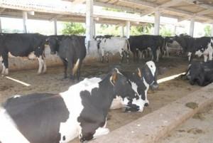 En la provincia existen más de 381 413 cabezas de ganado vacuno, según el conteo de marzo último.