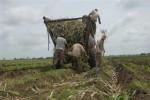 La siembra resulta vital en las aspiraciones reanimadoras de la producción cañera.