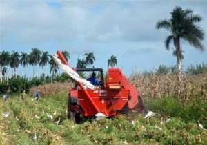 A partir de septiembre se concentra la cosecha que sitúa a Yaguajay como el principal productor del grano.