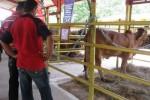 El Parque de Feria Delio Luna Echemendía acoge a los mejores animales de la raza cebú.