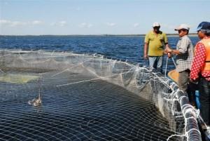 Este año las jaulas circulares de la presa Zaza aportarán unas 80 toneladas de tilapias.