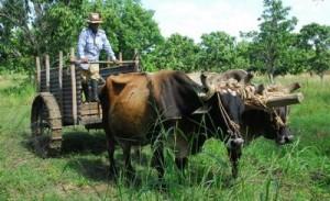 El sector campesino y cooperativo constituye el principal eslabón de producción de alimentos en Sancti Spíritus.
