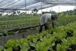 El cultivo semiprotegido regula los efectos de la lluvia, la radiación solar y la temperatura.