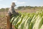 La cosecha se distingue por la calidad de la hoja.