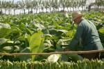 Sancti Spíritus es la segunda provincia tabacalera del país.