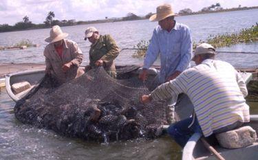 Pescadores espirituanos y el arte de cebar tilapias for En cuanto tiempo se cosecha la tilapia