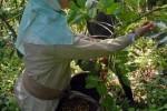 Las zonas montañosas de Trinidad y Fomento acogen a más de un centenar de educandos como caficultores.