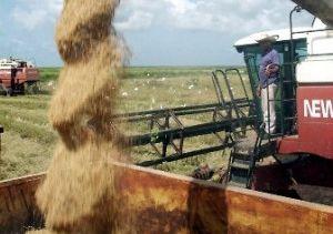 La cosecha arrocera en Sur del Jíbaro creció un 26 por ciento respecto al año anterior.