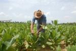 La entrega de tierras en usufructo ha contribuido a elevar producciones fundamentales en la provincia.