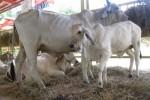 La exposición de diversas razas de ganado constituye atractivo para los asistentes a esta feria.
