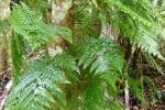 Helecho Maxonia apiifolia.